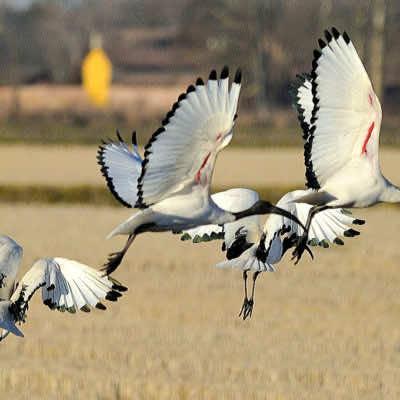 Volo Ibis (CERGNAGO)